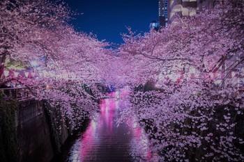 yozakura 満開の夜桜(目黒川)2 (2).jpg